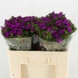Dianthus barbatus Neon Purple 50cm Habenelk