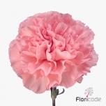 Dianthus Carnation Nelk Nahema EQ 20Tk
