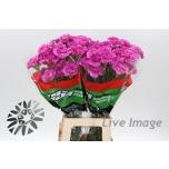 Dianthus Carnation Nelk Farida
