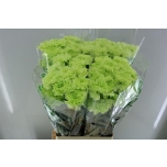 Dianthus Carnation Nelk Goblin