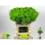 Dianthus Nelk 60-65cm Green Trick