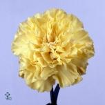 Dianthus Carnation Nelk Hermes