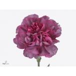 Dianthus Carnation Nelk Hypnosis EQ 20TK