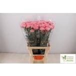 Dianthus Carnation Nelk Julia