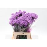 Dianthus Carnation Nelk Moonaqua