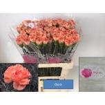 Dianthus Carnation Nelk Oasi