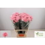 Dianthus Carnation Nelk Paris