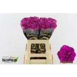 Dianthus Carnation Nelk Purple Pixel