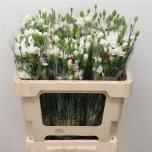 Dianthus spray Kobarnelk Rosa Tessino
