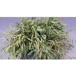 Eucalyptus Nicholii 60-65cm