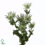 Eryngium Ogaputk 40cm Sirius