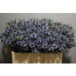 Eryngium 50cm Blue Angel