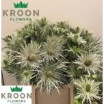 Eryngium Ogaputk 45cm Love White Green