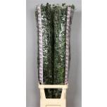 Eucalyptus Cinerea 160cm tk