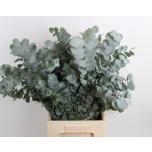 Eucalyptus Cinerea 60cm