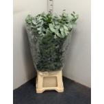 Eucalyptus Cinerea 70cm