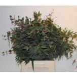 Eucalypt 60 cm mix