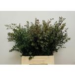 Eucalyptus Parvifolia 60cm