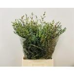 Eucalyptus Parvifolia 60-65cm
