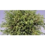 Eucalyptus Parvifolia 70cm