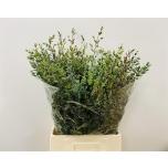 Eucalyptus Parvifolia 70-75cm