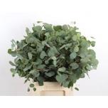 Eucalyptus polyanthemos 55cm