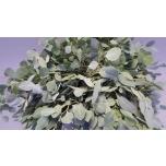 Eucalyptus populus tereticornis 70cm