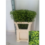 Euphorbia Martinii 75cm