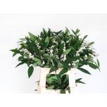 Euphorbia Piimalill 60cm Quicksilver