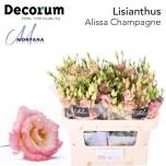Eustoma Preeriakell Alissa Champagne