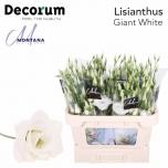 Eustoma Preeriakell Arena Giant White