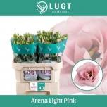 Eustoma Preeriakell Arena Light Pink
