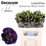 Eustoma Preeriakell Bohemian Black Violet