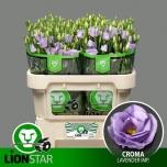 Eustoma Preeriakell Croma Lavender