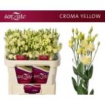 Eustoma Preeriakell Croma Yellow