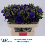 Eustoma Preeriakell Mari Blue