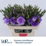 Eustoma Preeriakell Mari Lavendel