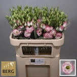 Eustoma Preeriakell Rosita Hot Lips