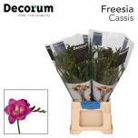 Freesia Cassis