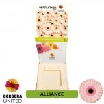 Gerbera Alliance*15
