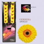 Gerbera Apollo*20