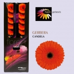 Gerbera Candela*20
