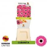 Gerbera Cubanita (pakis 15 tk)
