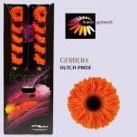 Gerbera Dutch Pride*20