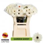 Gerbera Garden Ghost*10