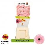 Gerbera Graceland*15