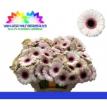 Gerbera mini Abby Lou*20
