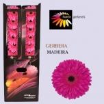 Gerbera Madeira*20
