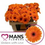 Gerbera mini Bison*20