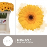 Gerbera mini Bison Gold (pakis 20 tk)